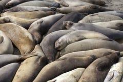 León de mar Imágenes de archivo libres de regalías
