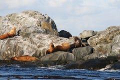 León de mar Fotografía de archivo libre de regalías