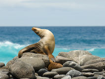 León de mar Imagen de archivo libre de regalías