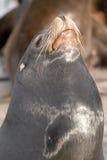 León de mar 5 Fotos de archivo libres de regalías