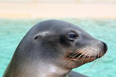 León de mar al lado de una piscina foto de archivo