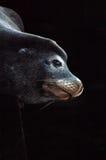 León de mar bajo el embarcadero Foto de archivo libre de regalías