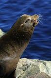 León de mar de California Foto de archivo