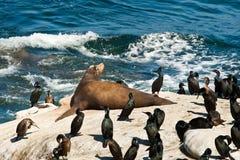 León de mar de California Foto de archivo libre de regalías