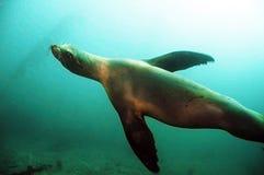 León de mar de California fotos de archivo