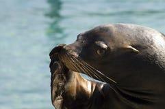 León de mar de California (californianus del Zalophus) Fotografía de archivo