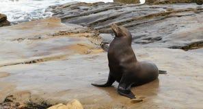 León de mar de California (californianus del Zalophus) Fotos de archivo libres de regalías