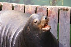 León de mar de California, raspando con la boca abierta fotos de archivo libres de regalías