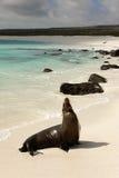 León de mar de las Islas Gal3apagos Foto de archivo libre de regalías