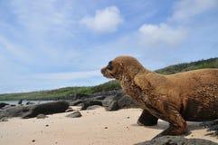 León de mar de las Islas Gal3apagos del bebé en la playa imagen de archivo