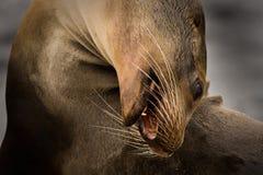 León de mar de las Islas Gal3apagos (wollebaeki del Zalophus) Fotografía de archivo libre de regalías