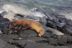 León de mar de los pagos del ¡de Galà Fotos de archivo libres de regalías