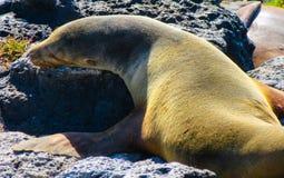 León de mar de los pagos del ¡de Galà Fotografía de archivo