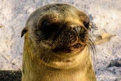 León de mar de los pagos del ¡de Galà Foto de archivo