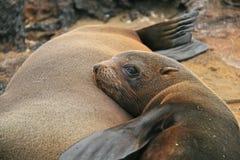León de mar del bebé con su mama en una playa Imágenes de archivo libres de regalías
