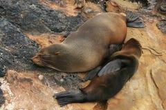 León de mar del bebé con su mama en una playa Imagen de archivo libre de regalías