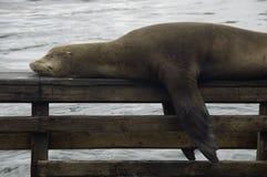 León de mar el dormir Foto de archivo