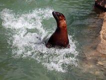 León de mar en el movimiento Imagen de archivo