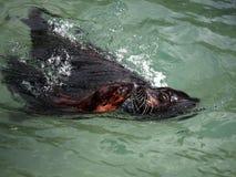 León de mar en el movimiento Fotos de archivo libres de regalías