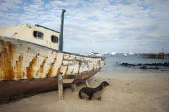 León de mar en la playa con el barco Fotografía de archivo libre de regalías