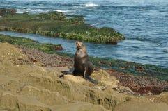 León de mar en orilla Foto de archivo