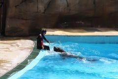 León de mar en Zoomarine - USO EDITORIAL Imagen de archivo libre de regalías