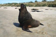 León de mar enorme que bosteza Imágenes de archivo libres de regalías