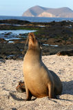 León de mar femenino foto de archivo