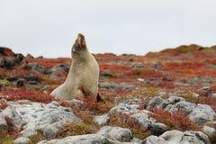 León de mar las Islas Gal3apagos imágenes de archivo libres de regalías