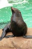 León de mar muerto de hambre para la atención imagenes de archivo
