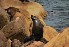 León de mar que amenaza imagen de archivo libre de regalías