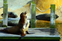 León de mar que goza del sol. Fotos de archivo libres de regalías