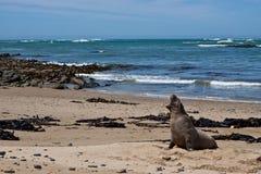 León de mar salvaje que grita. Fotografía de archivo