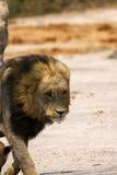 León de mirada enojado magnífico Imágenes de archivo libres de regalías