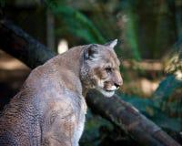 León de montaña Fotografía de archivo libre de regalías