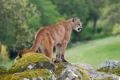 León de montaña Imágenes de archivo libres de regalías