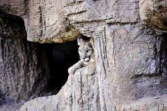 León de montaña Imagen de archivo