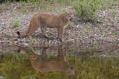 León de montaña Imagen de archivo libre de regalías