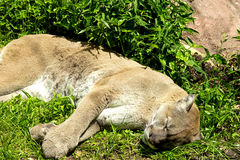 León de montaña Fotos de archivo libres de regalías