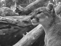 León de montaña Foto de archivo libre de regalías