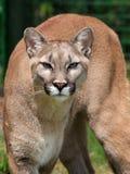 León de montaña Foto de archivo