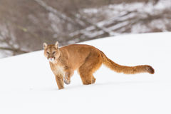 León de montaña con la cola larga foto de archivo