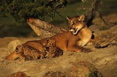 León de montaña con los gatitos Fotografía de archivo
