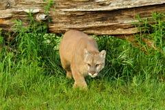 León de montaña crounching debajo de un registro Imágenes de archivo libres de regalías