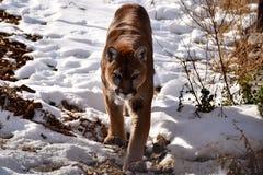 León de montaña de acecho Imagenes de archivo