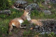 León de montaña de Montana Imagen de archivo libre de regalías