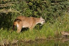 León de montaña del grun ido Fotos de archivo