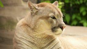 León de montaña del puma del puma que miente en las rocas que descansan cerca de su guarida después de caza debajo de árboles gra