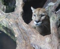 León de montaña disimulado Fotos de archivo