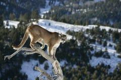 León de montaña en árbol muerto Imagenes de archivo